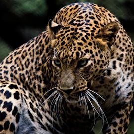 The Leopard by Prashanth Nagabhushan - Animals Lions, Tigers & Big Cats ( big cats, prashanth nagabhushan, the hunter, leopard, prashanth )