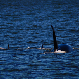 Orca Pod by Jason Weigner - Animals Sea Creatures ( water, wild, orca, orcas, pacific, ocean, whale, pod,  )