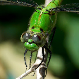 by William Pokovitz - Animals Insects & Spiders ( dragonfly )