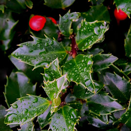 Holly and berries by Liz Hahn - Nature Up Close Other plants