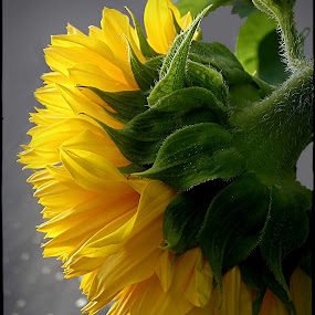 a lot of sun by Mirela Korolija - Nature Up Close Flowers - 2011-2013