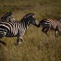 Galloping Grant`s Zebras