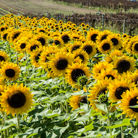 Sunflower field by Doug Clement - Flowers Flowers in the Wild ( field, nature, color, sunflower, yellow, flower )