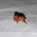 Spiny Oak Slug Moth