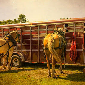 Waiting Their Turn by Gabrielle Libby - Animals Horses ( trailer, belgians, red, horses, pull, d7000, nikon, topsham, fair )