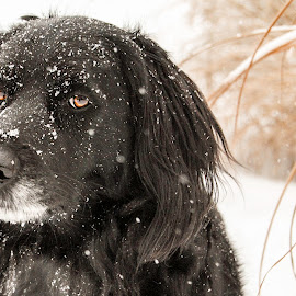Labrador/Golden in snow by Suzanne Stonehouse Brummel - Animals - Dogs Portraits ( contrast, winter, pets, snow, snowy, dog )