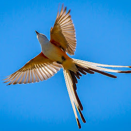 Scissortail Flycatcher by Ron Meyers - Animals Birds