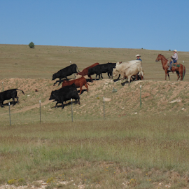 Herding  Cattle by SHARON ARMIJO - Animals Horses ( ranch, horses, heifers, cowboys, bulls, cattle )