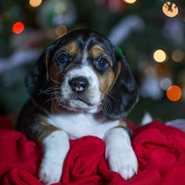 Jack the rescue beagle puppy by Brent Morris - Animals - Dogs Puppies