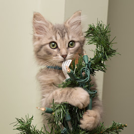 Tree Topper by Jennifer McWhirt - Animals - Cats Kittens ( cats, animals, kitten, kitten portrait, photographybyjenmcwhirt.com, christmas, christmas tree,  )
