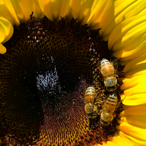 Working For The Honey by Corinne Noon - Flowers Single Flower ( bees, petals, summer, sunflower, yellow )