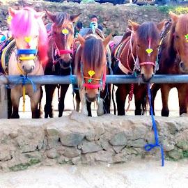 Panagbenga Festival. by Angelica Purisima - Animals Horses