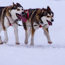 sled dog racing by Tatjana GR0B - Animals - Dogs Running (  )