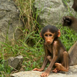 Baby by Jack Goras - Animals Other Mammals ( zoo, nature, nature up close, baby, monkey, chimp )