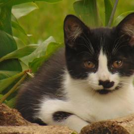Resting Kitten by James Peters - Animals - Cats Kittens ( resting, kitten, cat, furry, cute,  )
