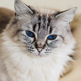 Eyes as blue as the deepest ocean by Chris Froome - Animals - Cats Portraits ( ragdoll, olympus m.zuiko 45mmf1.8, cute, portrait, mammal, domestic animal, cats, carnivore, olympus omd em1, pets, fur, blue eyes, felines, animal )