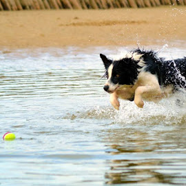 focus by Mariska Brink - Animals - Dogs Running ( water, ball, border collie )