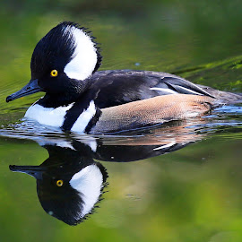 Hooded Reflections by Anthony Goldman - Animals Birds ( water, wild, reflection, tampa, duck, hooded, merganser, pond, nale )