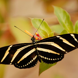Tiger Butterfly by Donna Cole - Animals Insects & Spiders