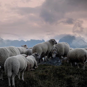 The Sheep and his disciples by Gilles Ferrier - Landscapes Prairies, Meadows & Fields