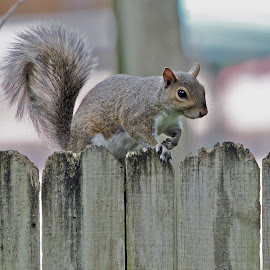 Squirrel on a fence by Sandy Scott - Animals Other Mammals ( mammals, tree dwellers, small mammals, rodents, squirrel,  )