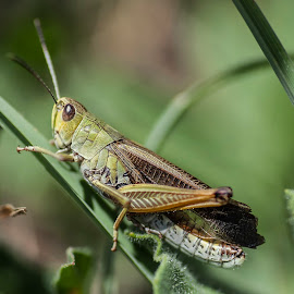 Grasshopper by Mauro Amoroso - Animals Insects & Spiders ( grasshopper insect green nature closeup green grass macro )
