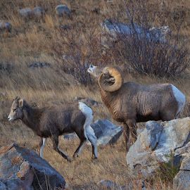 Something in the air by Don Evjen - Animals Other Mammals ( ewes, montana, curls, rams, bighorns, sheep )