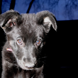 Chelsea, German Shepherd Puppy by Rebecca Belcher - Animals - Dogs Puppies ( shepherd, pet, german, photographer, adorable, puppy, professional, black, photography, portrait, eyes )