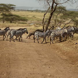 Great Migration Tanzania by Linda Hutton - Animals Other ( path, nature, landscape )