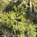 Blackbird;