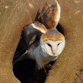 Hole to roost by Sue Lascelles - Novices Only Wildlife ( tree, nest, barn owl, wildlife, birds,  )