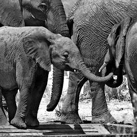 Baby elephant in black & white by Hennie Wolmarans - Animals Other Mammals ( nature, black and white, elephant, wildlife, baby animals )