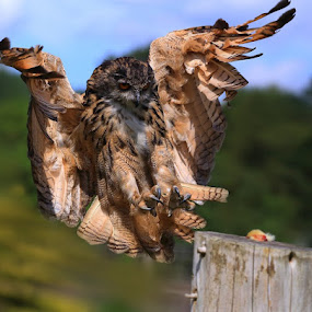 Coming in for Food by Ceri Jones - Animals Birds ( bird, flight, eagle, landing, owl, prey )