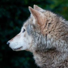Wild mountain wolf by Steve Simkins - Animals - Dogs Portraits ( wild, mountain, wolf, background, fur, black, portrait )