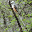 Scissor-tailed Flycatcher (pair)