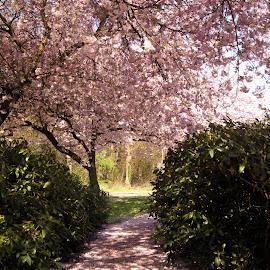 Blossom path by Anita Berghoef - City,  Street & Park  City Parks ( park, path, pink, spring, blossom, city )