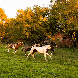 Running Away with the Ligh by Darin Mellor - Animals Horses ( iowa, animals, horses, 2014, farms, wildlife, fall 2014 )