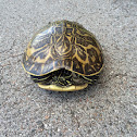FL Box Turtle