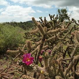 Desert Flower by Donna Chapman-Domitrek - Landscapes Deserts ( dry, desert, pink, flower, cactus )