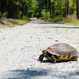 Slow crossing by Christopher Fenning - Animals Reptiles ( hare and tortoise, tortoise, road crossing, snapping turtle, tortoise crosses road, turtle )