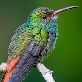 Rufous-tailed Hummingbird by Siu Generis - Animals Birds ( bird, green, hummingbird, feathers, cute, rufous, hummer )