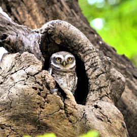 Third Umpire - Perfect Watch by Muralimohan Krishnan - Animals Birds ( cricket, owl, birds, photography, chennai )