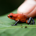 Blue Jeans Frog/Strawberry Poison-Dart Frog