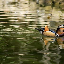 Vibrant -Rainbow Duckling. by Pavan Naidu - Animals Birds ( #mandarin_duck )