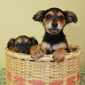 Samoa and Scout by Sharon Scholtes - Animals - Dogs Puppies ( canine, puppies, basket, brown, dog, black, brothers )