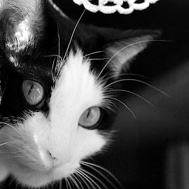 B&W Beauty by Valentina Parente - Animals - Cats Portraits ( love, cat, black and white, beauty, portrait )