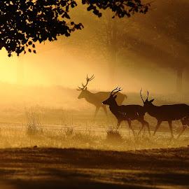 Golden Glow by Steve Adams - Animals Other Mammals ( stags, sunset, sunrise, mist, deer )