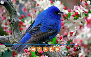 Screenshot of Birds Calls Sounds