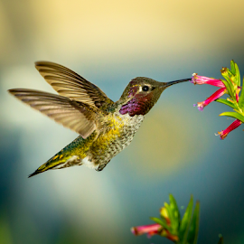 Anna's Hummingbird 2174 by Ken Wade - Animals Birds ( anna's hummingbird )