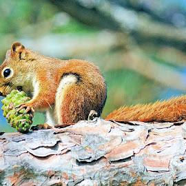 Red Squirrel by Jaliya Rasaputra - Animals Other Mammals
